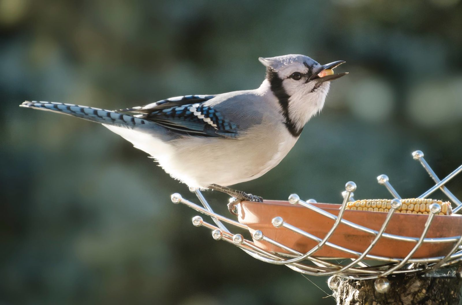 faye-cornish-Blue Jay at bird feeder